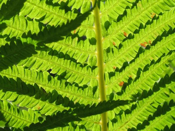 The sun tries to squeeze through the gaps in this majestic fern.