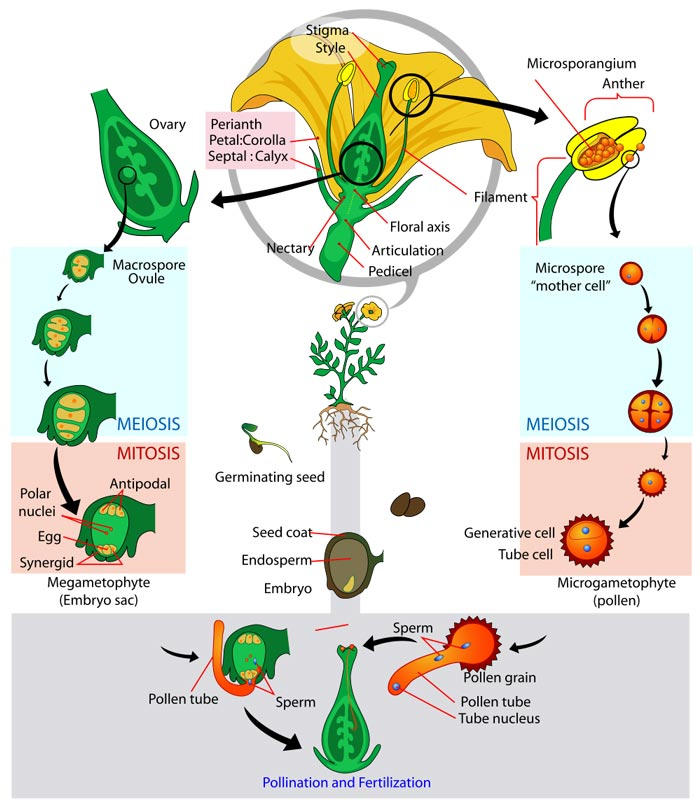 What is the life cycle of a flower? Find out with this excellent diagram which follows the stages and clearly labels the important information. Learn about meiosis, mitosis, pollination, fertilization, germinating seeds, the ovary, stigma, style and more.