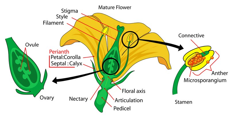 Learn about the different parts of a flower such as the stigma, style, filament, ovary, nectary, stamen and more with this informative flower parts diagram.