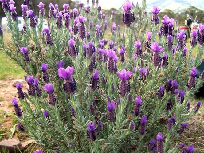 This photo shows a bright lavender plant sitting in someone's garden.