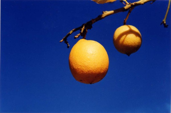 A bright photo showing two lemons hanging from the branch of a lemon tree against the backdrop of a deep blue sky on a beautifully sunny day.