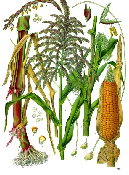 This maize plant diagram shows both the male and female flowers of what is commonly known as corn.