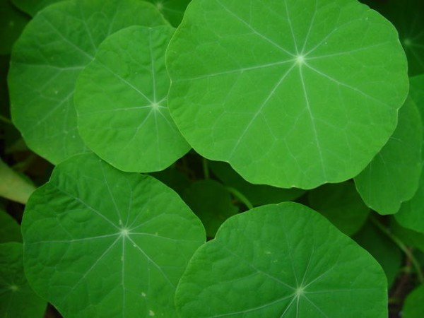 This photo shows a number of nasturtium leaves sitting in a garden.