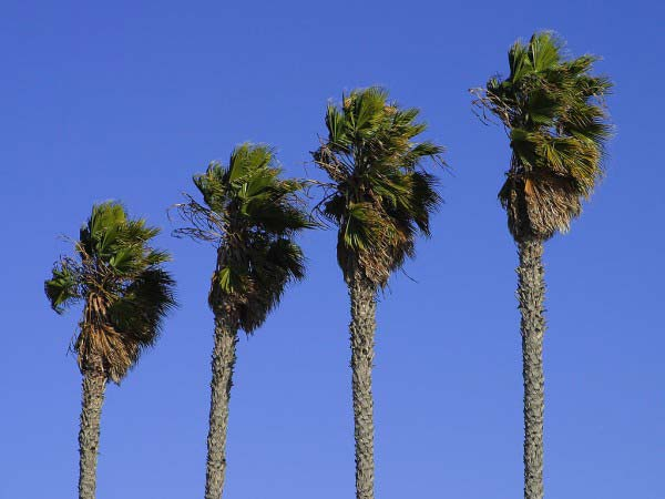 Four large palm trees blow in the strong winds with a beautifully blue sky in the background.