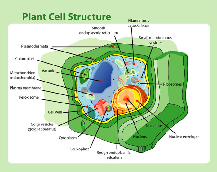 Learn about the structure of a typical plant cell with this informative diagram. The diagram lists important parts such as the nucleus, cytoplasm, leukoplast, cell wall, chloroplast and ribosomes.