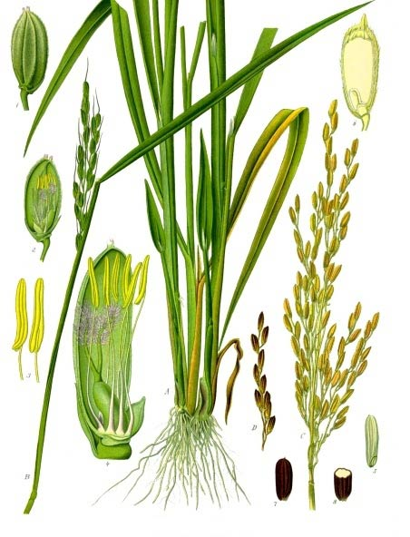 This rice plant diagram illustrates the important parts of the plant Oryza sativa. Rice is the seed of this plant and is a very important grain that has high levels of worldwide production.