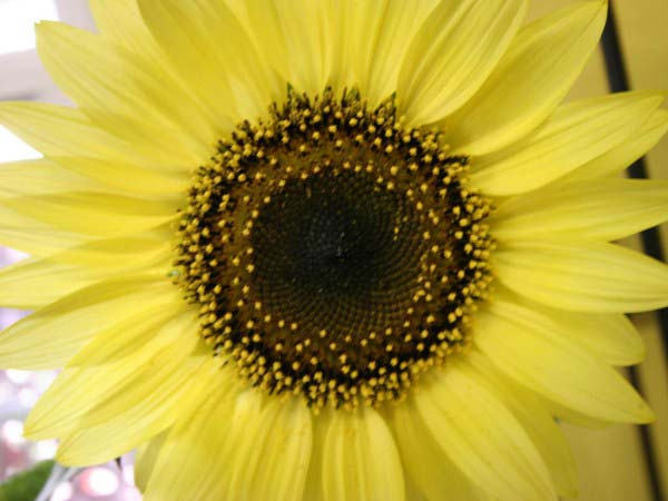 An extreme close up photo showing the front of a beautiful looking sunflower.