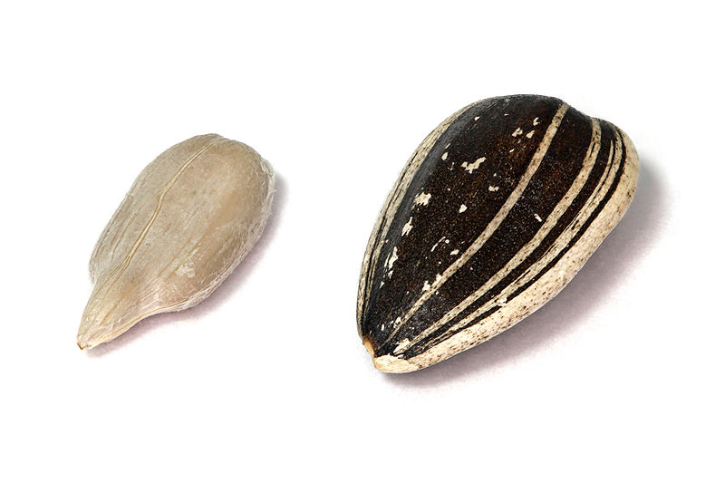 This detailed photo shows a close up image of two sunflower seeds set against a white background.