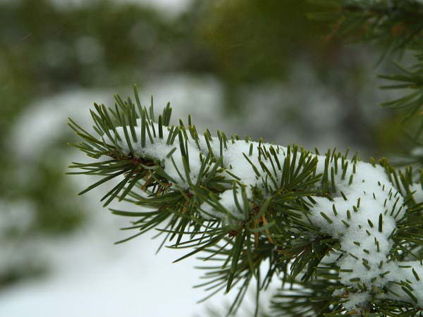 In a forest of winter pines, this photo shows a close up photo of a branch covered in snow.