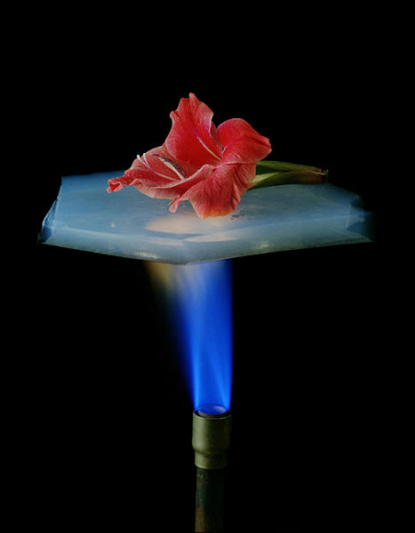 This photo shows the excellent insulating properties of a substance known as aerogel. It easily protects the flower from the Bunsen burner flame.